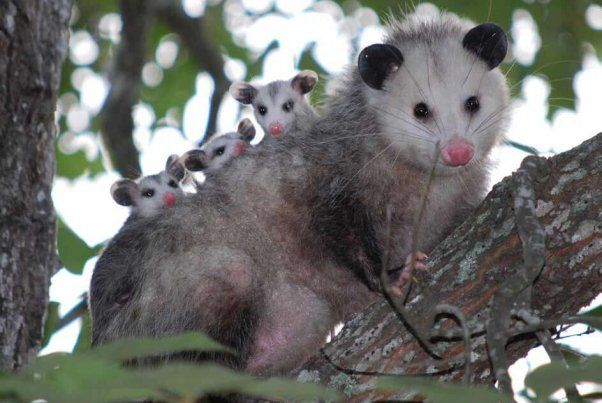 Viral Photo Of Baby Possums Teaches A Lifesaving Message Animals Baby Possum Baby Animals