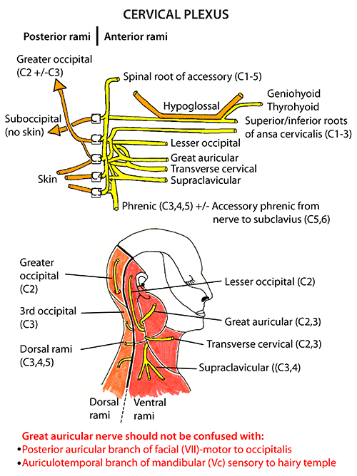 Instant Anatomy Head And Neck Nerves Somatic Nerves Cervical