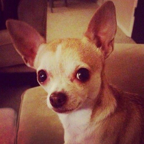 Chihuahuas Tumblr Chihuahua Puppies Chihuahua Animals