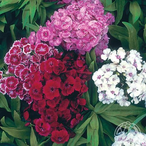 Dianthus barbatus dwarf double mix | Gardening - My plants ...
