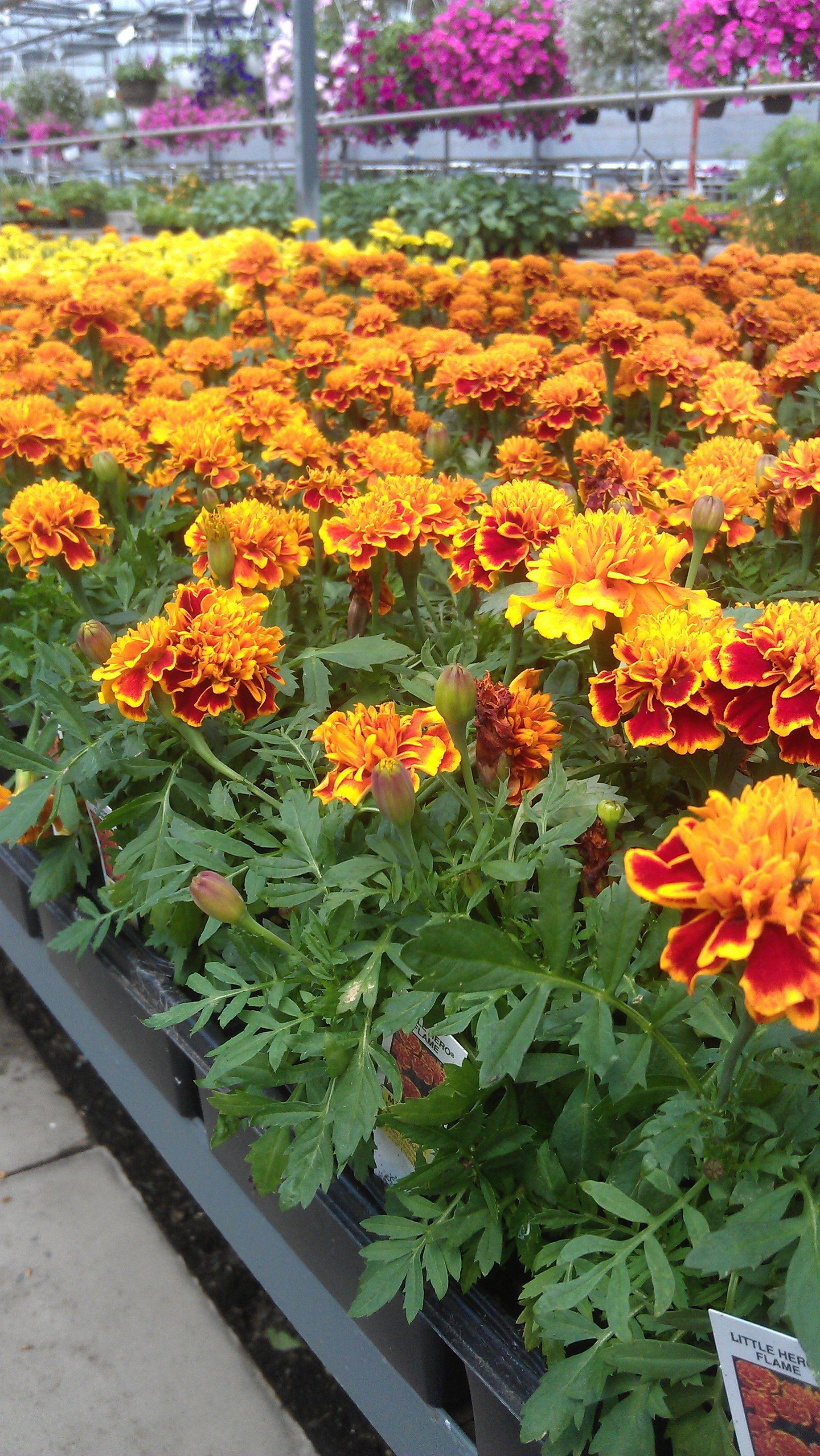 Marigolds.Add These Throughout Veggie Gardens To Help