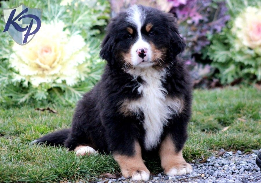 Puppy Finder Find Buy A Dog Today By Using Our Petfinder Puppy Finder Dogs Puppies