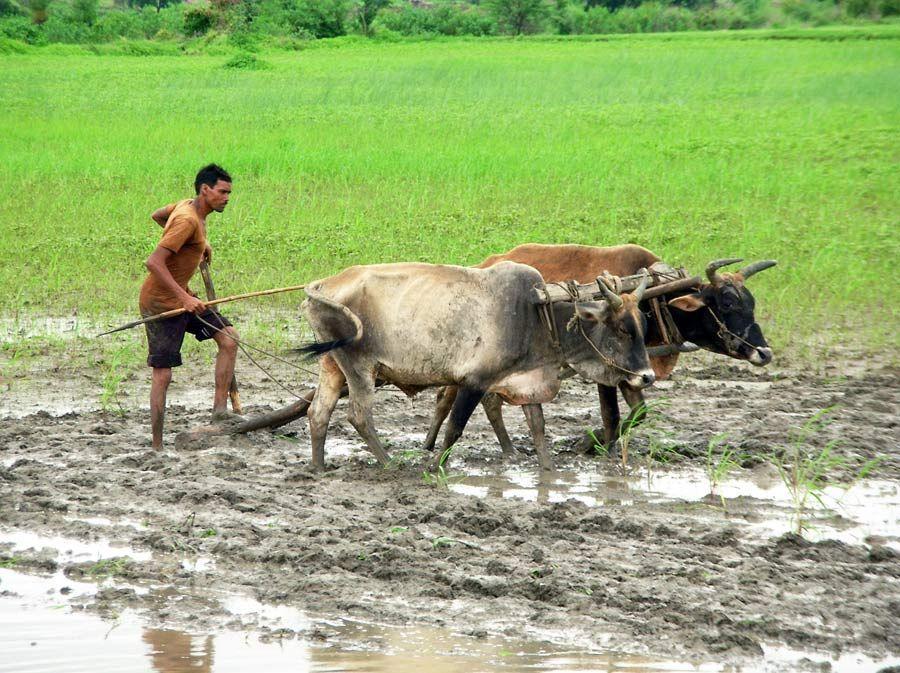 Farmer Ploughing Field near Sanchi Madhya Pradesh, India