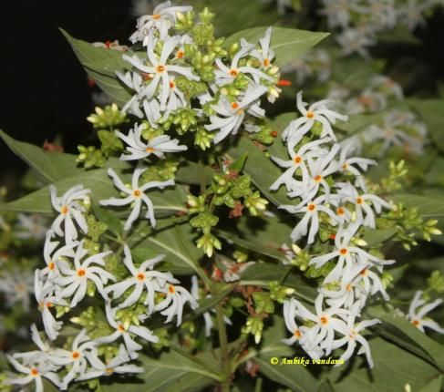 Tree Of The Month Har Singar The Night Flowering Jasmine Jasmine Tree Fragrant Flowers Night Garden
