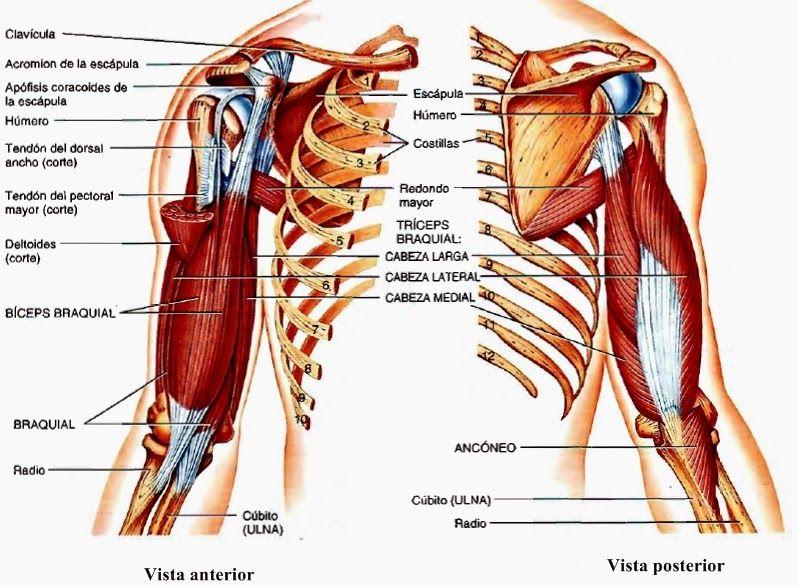 En esta página encontramos información sobre los músculos superiores ...