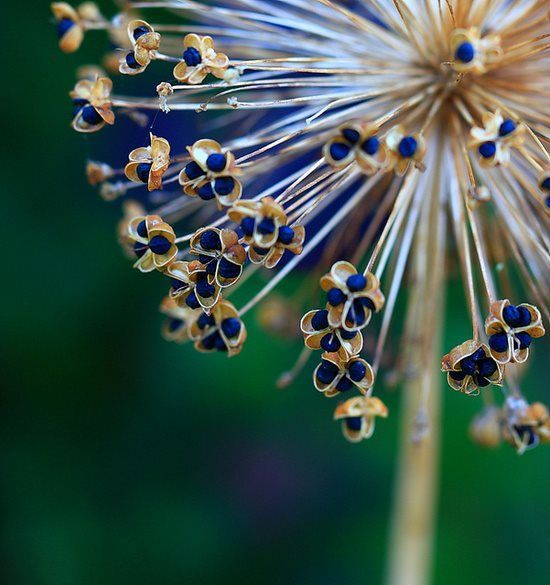 Allium Seed Heads Seed Pods Plant Texture Macro Flower