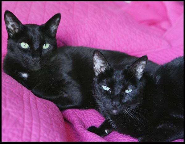 My Black Siamese Cats Zazie And Geri Share Your Story Living