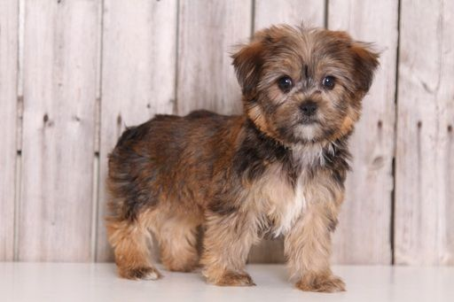 Bella Adorable Female Shorkie Shorkie Puppies Shorkie Puppies For Sale Shorkie Dogs