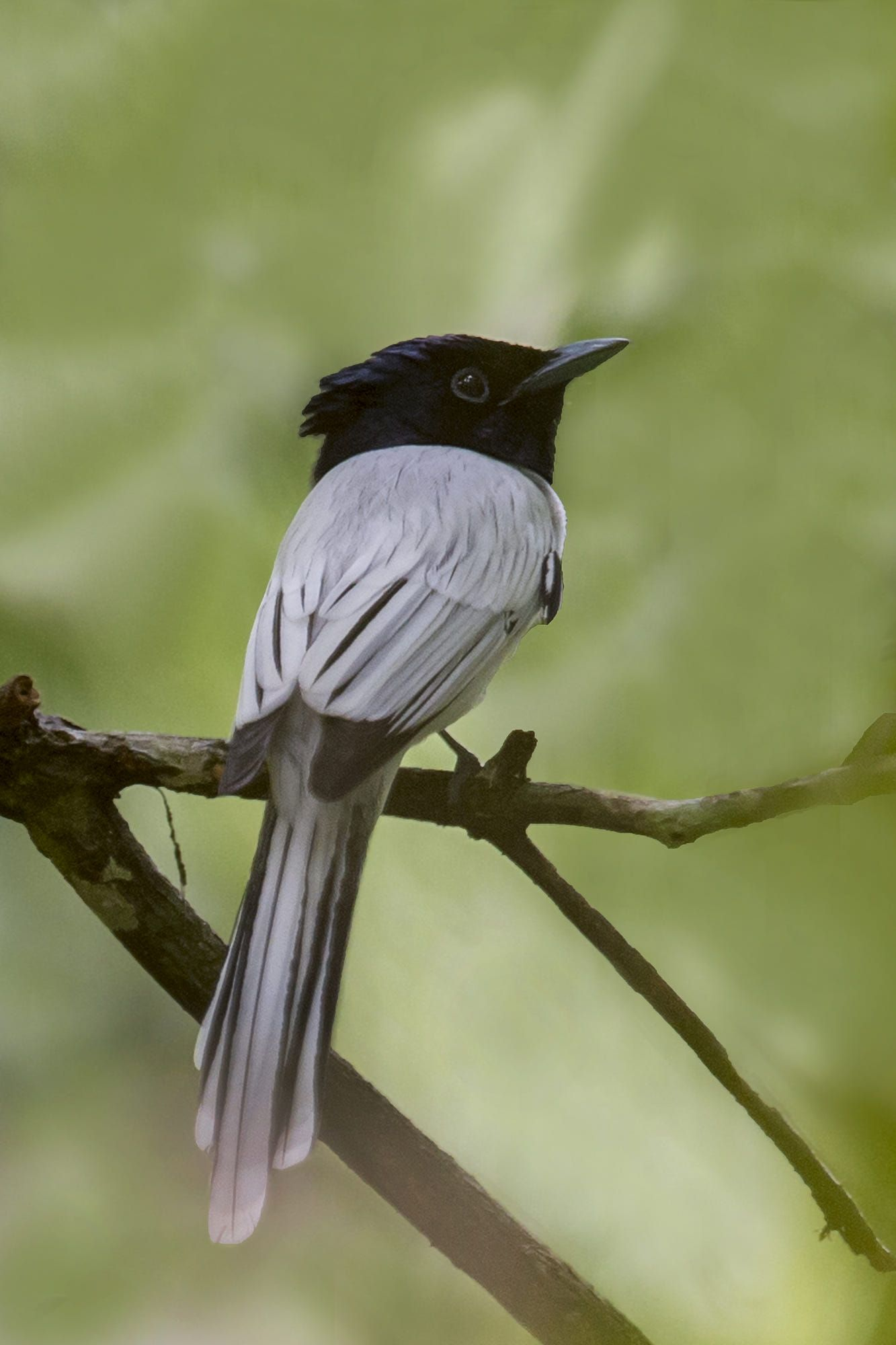 Asian paradise flycatchers, (Terpsiphone), are a genus of