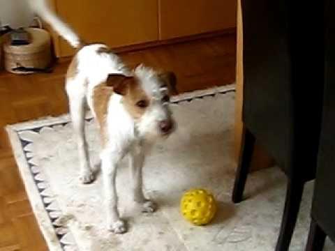 Kromfohrlander Dori Vom Rauhen Stein Das Gelbe Ballchen Youtube Jack Russell Terriers Jack Russell Terrier Tiere