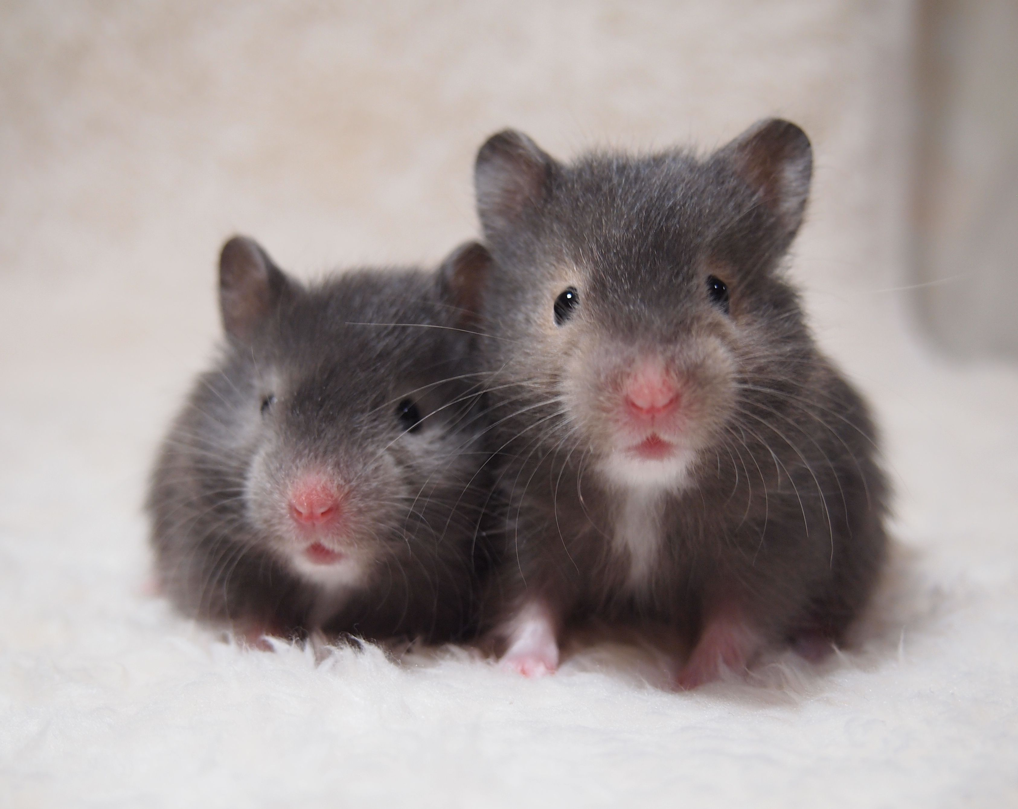 syrian hamster long hair silversable and sable 24days