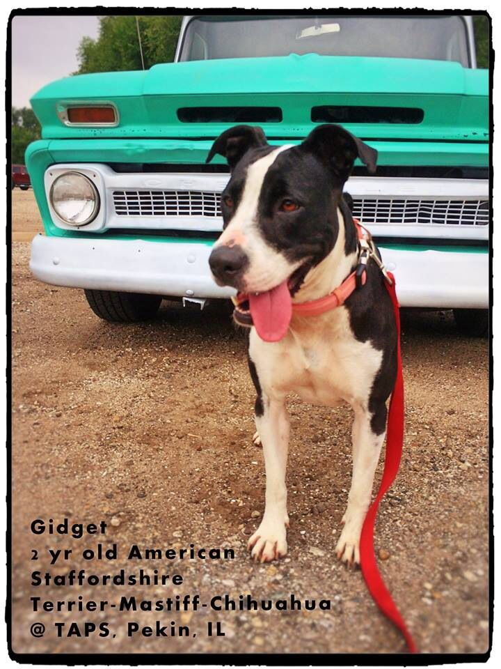 Gidget Is Available For Adoption At Taps Pekin Il No Kill Animal Shelter Animal Shelter Dogs