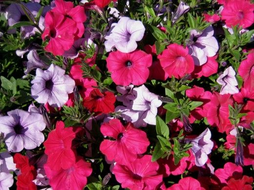 Top 10 Climbing Plants For A Small Trellis Climbing Plants Climbing Flowers Wave Petunias