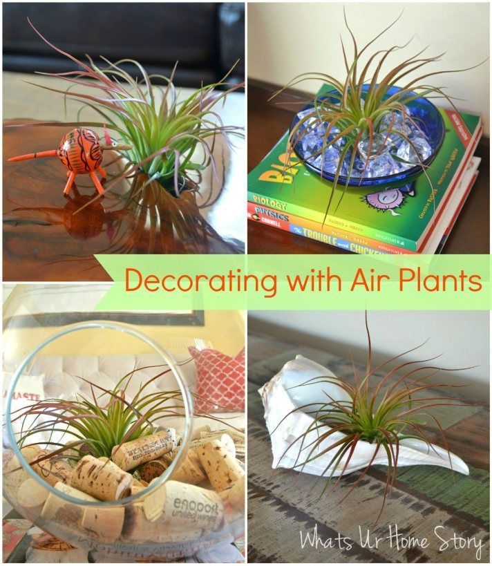 One Air Plant (Tillandsia) Five Different Ways | Air plants ...