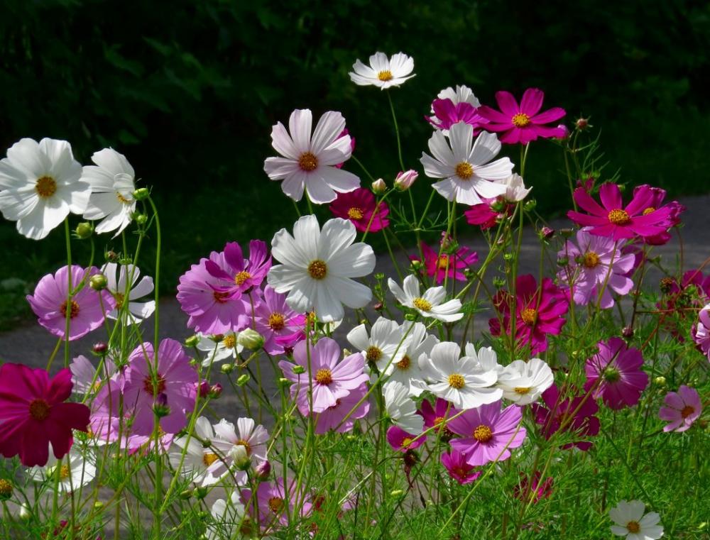 картинки цветы садовые полевые на телефон обои гор
