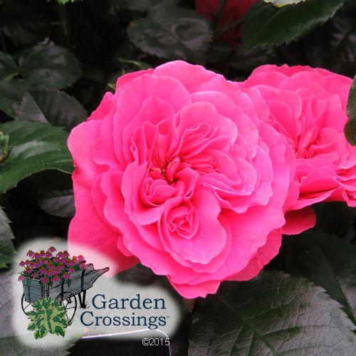 Rosa Livin La Vida Buy Rose Shrubs Online Rose Flowering Shrubs Planting Roses