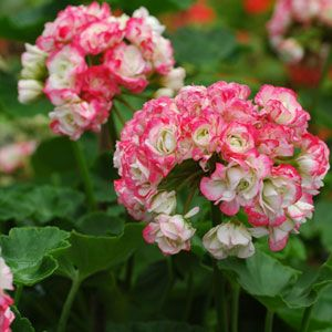the geranium by patricia grace essay Paper writer site preliminary outline essay, research paper on childhood obesity, how to write an essay about art history the geranium by patricia grace essay, a study on online game industry media essay.