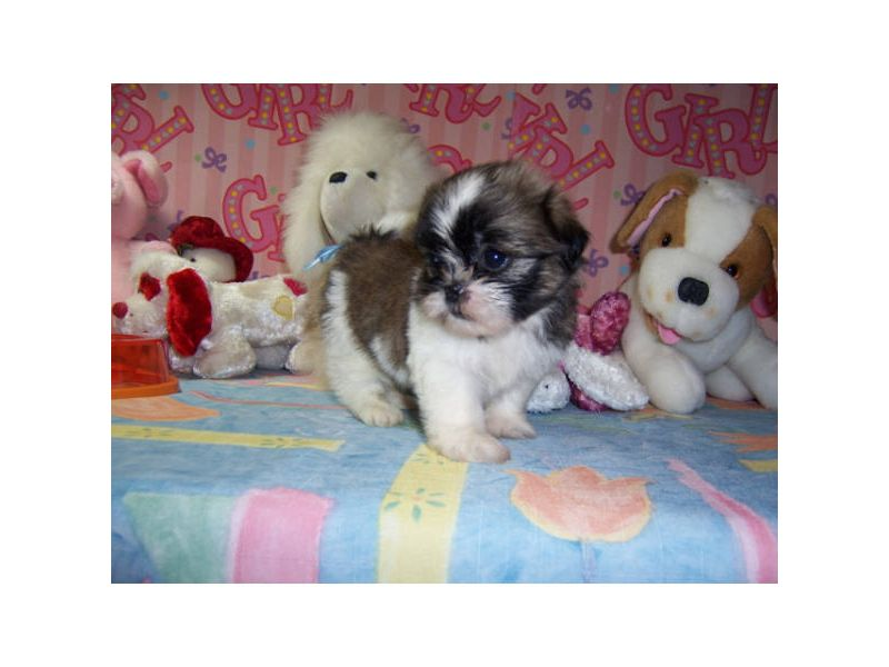 Puppies For Sale Shih Tzus Shih Tzus In Houston Texas Chihuahua Puppies Cute Animals Chihuahua