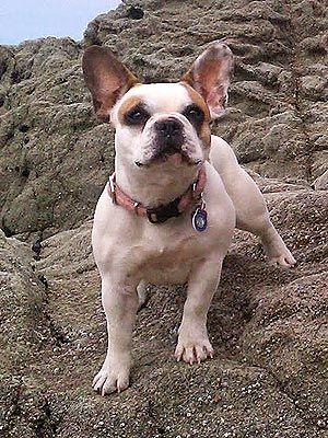 Meet Brigitte, the French Bulldog Behind Stella on Modern Family ...