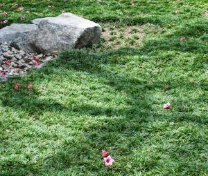Grandiflora Wholesale Nursery Product Details Dwarf Mondo Grass Mondo Grass Ground Cover Plants