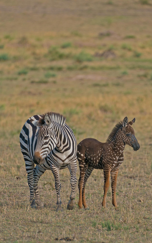 Zebra Born With Melanism Rare Animals Animals African Animals