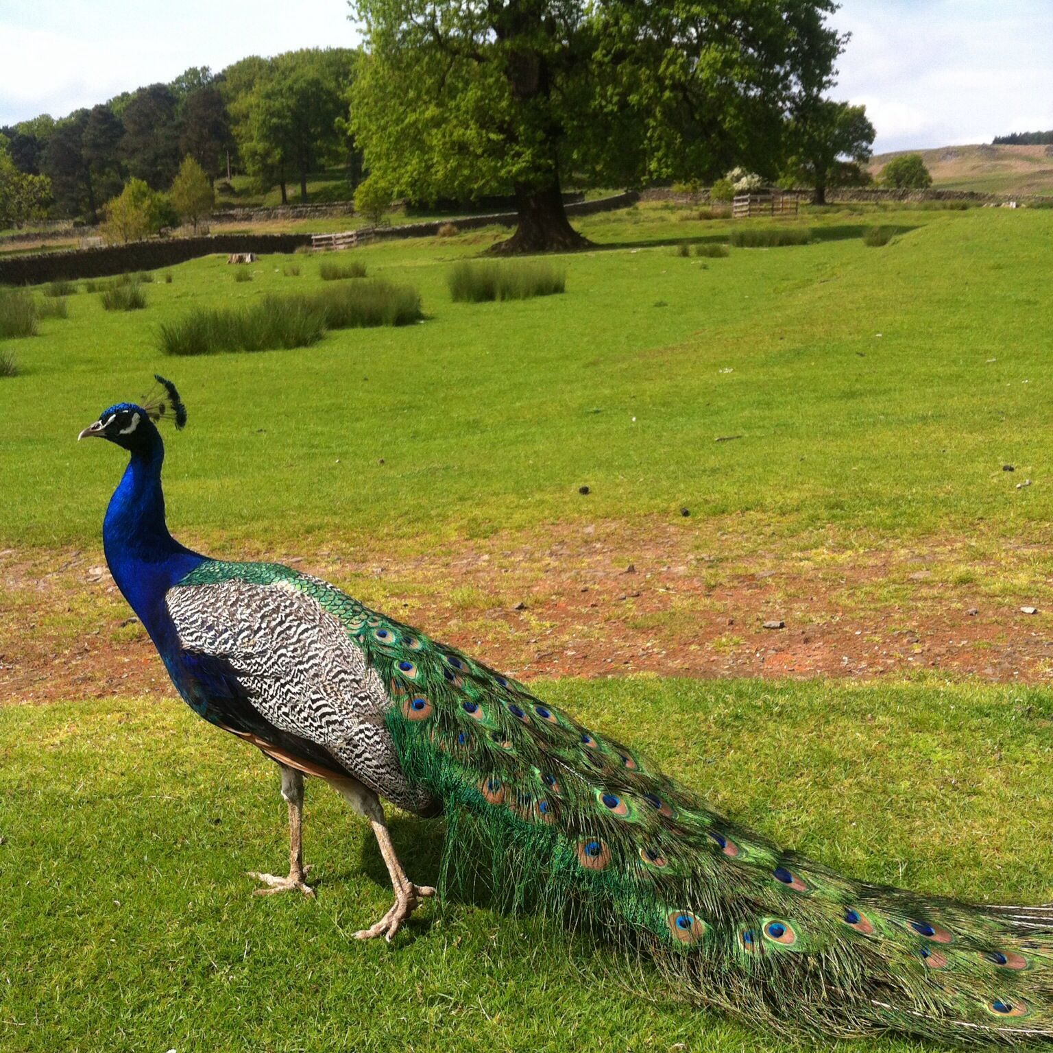 Look at the colours! Beautiful peacock at Bradgate Park, May 2014