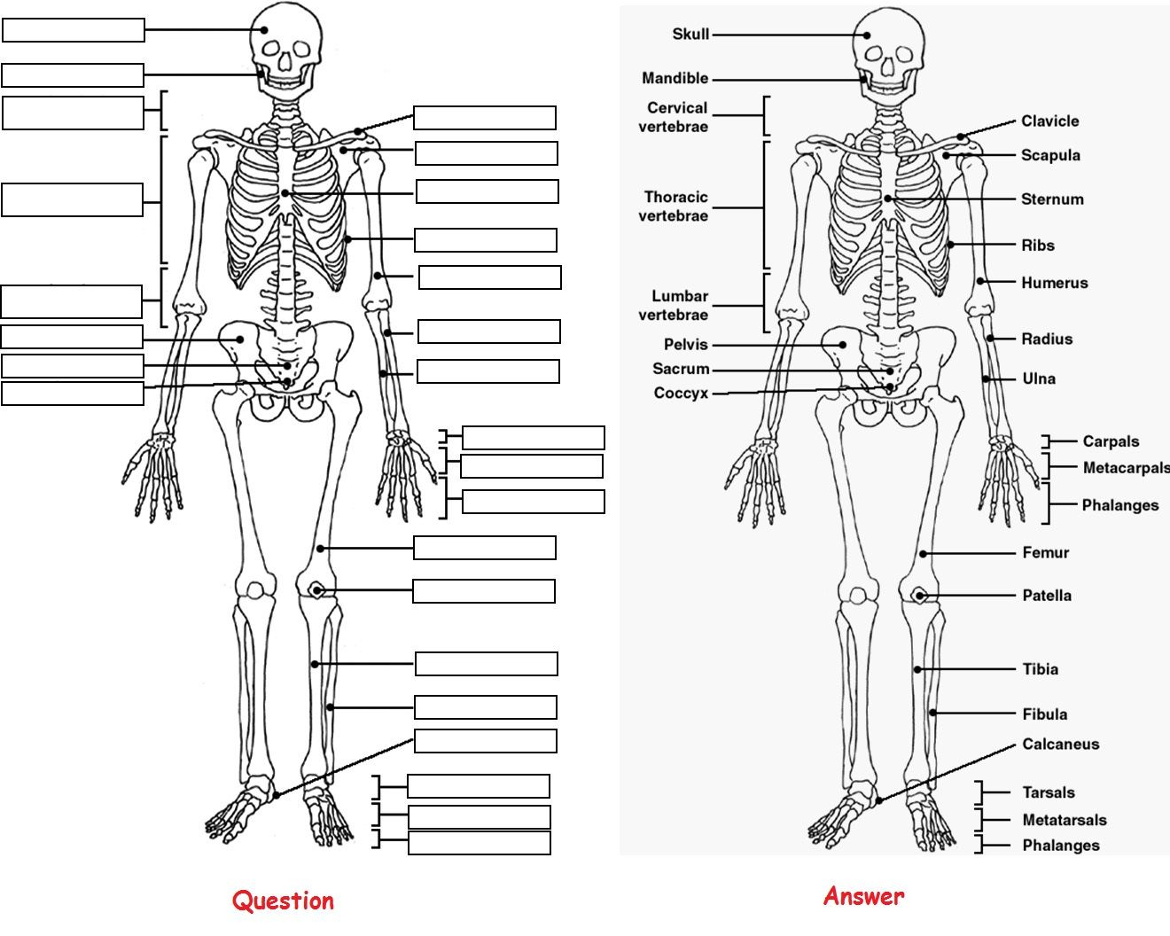 Skeleton Anatomy Coloring Pictures Label Question And