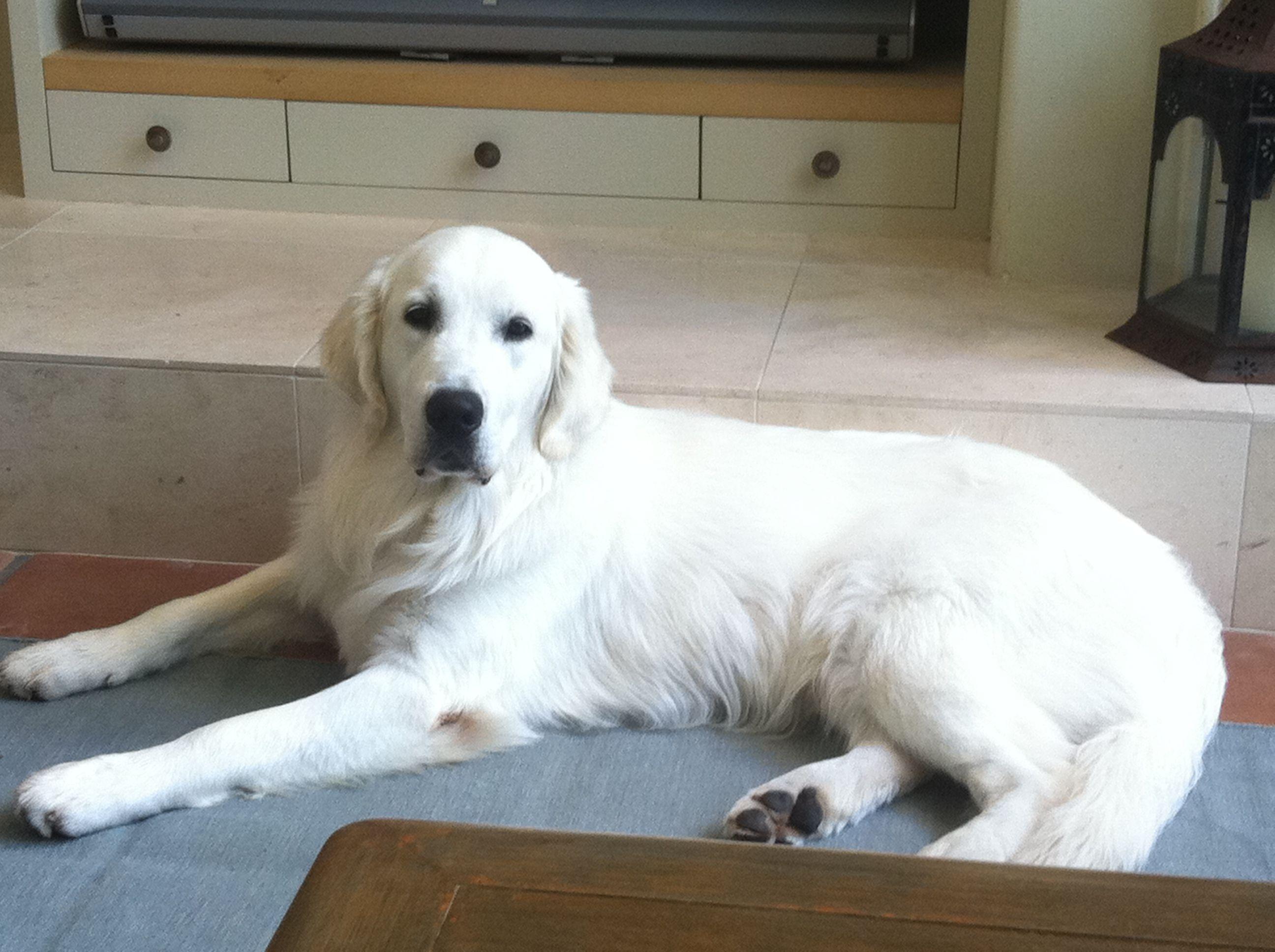 Beautiful Doggies Everybody Needs A White Golden Retriever In