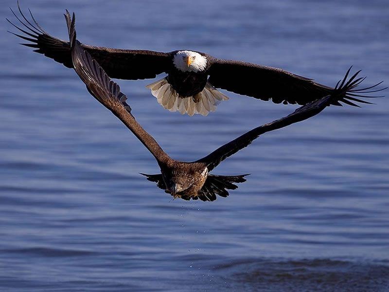 Birding in fulton eagles bald eagle eagle pictures