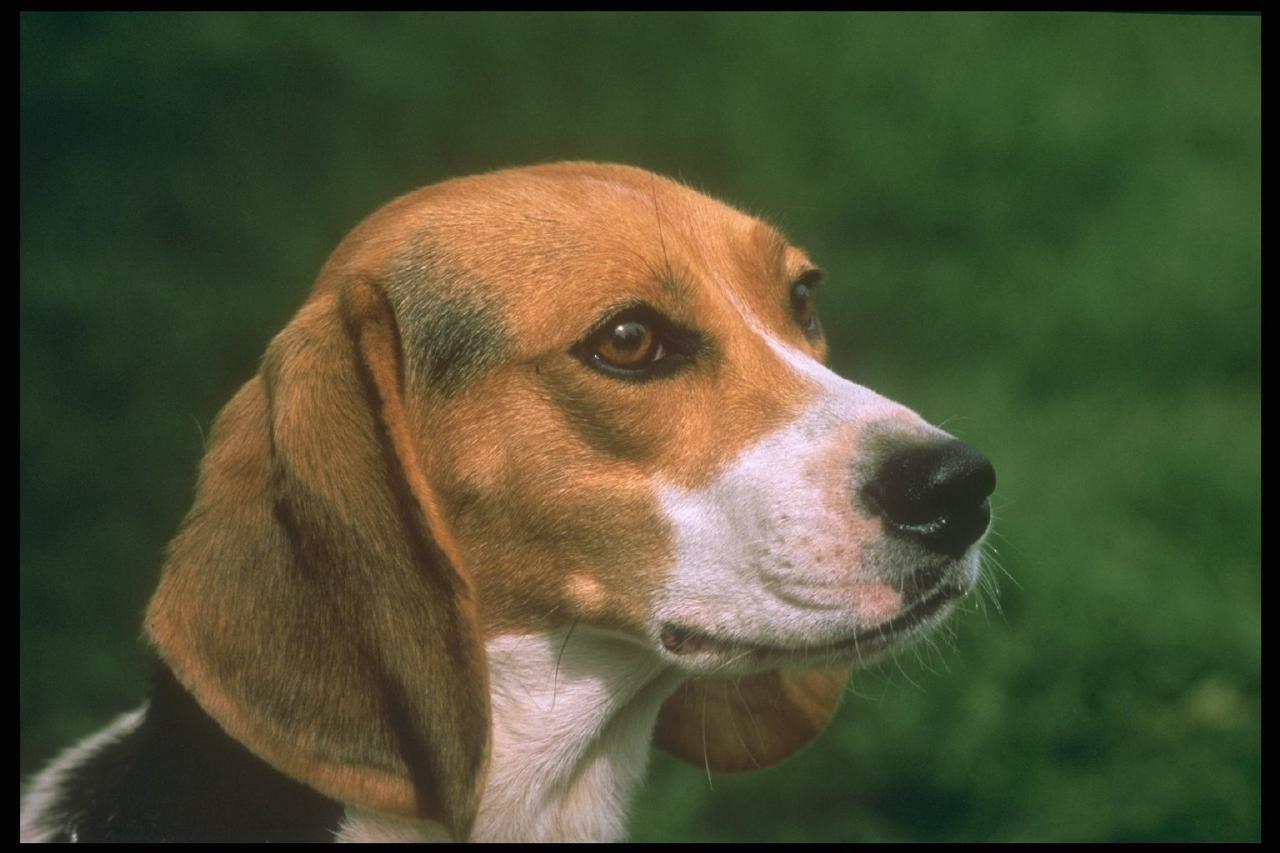 Beagle hound photo enjoy the beauty of nature dog