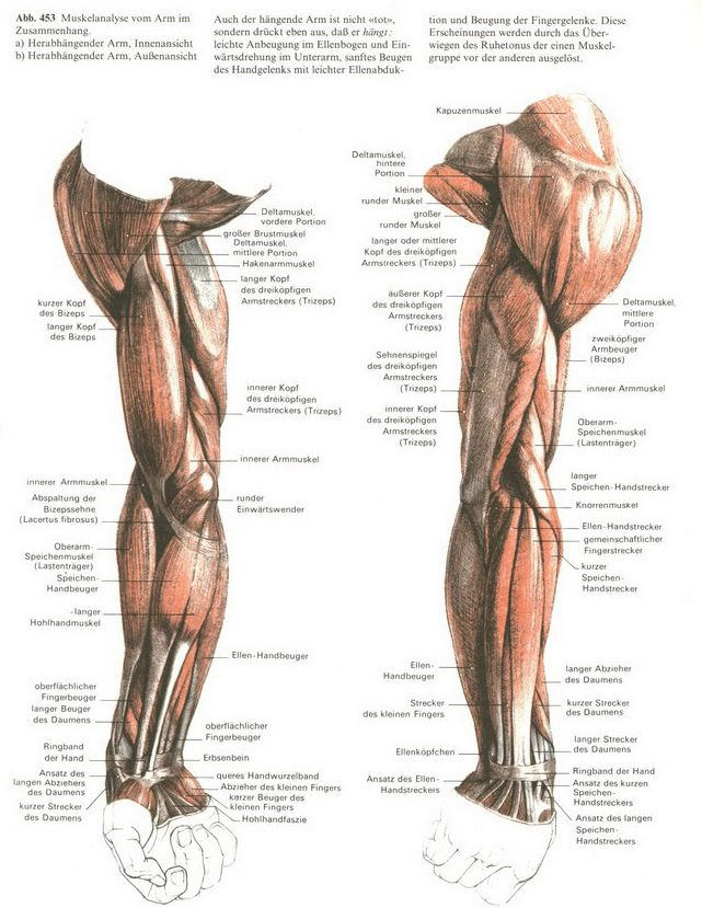 Arm Muscles Anatomy Pinterest Anatomy Artistic Anatomy And 2d