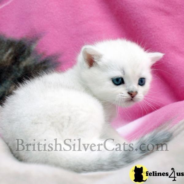 Green Blue Eyed Rare British Short Hair Kittens For Sale Kittens British Shorthair Kittens Kitten For Sale