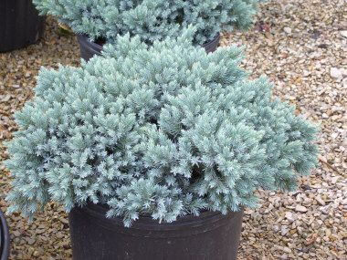 Blue Star Junipers Are Well Behaved And Stay Compact Like