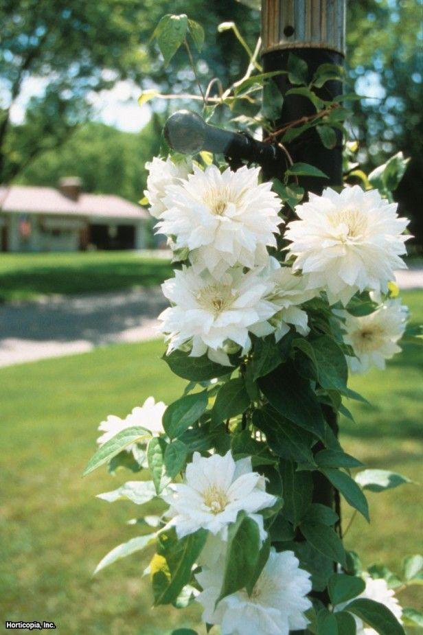 les 25 meilleures id es de la cat gorie fleur blanche nom sur pinterest nom de fleur blanche. Black Bedroom Furniture Sets. Home Design Ideas