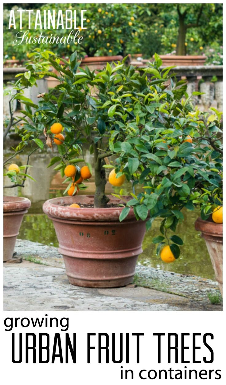 Growing Fruit Trees In Containers For Small Space Gardens Urban Orchards Tiny Homesteads Patio Fruit Trees Container Gardening Fruit Small Space Gardening
