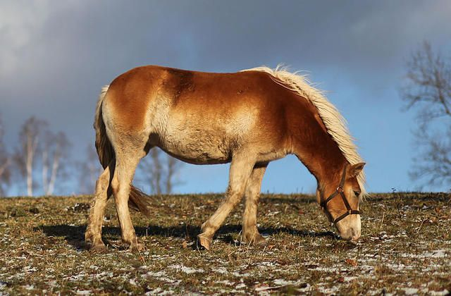 A Hucul pony in South Bohemia. He is chestnut with pangare ...