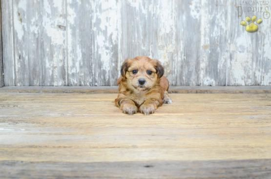 Alice Morkie Puppy For Sale In Johnstown Oh Lancaster