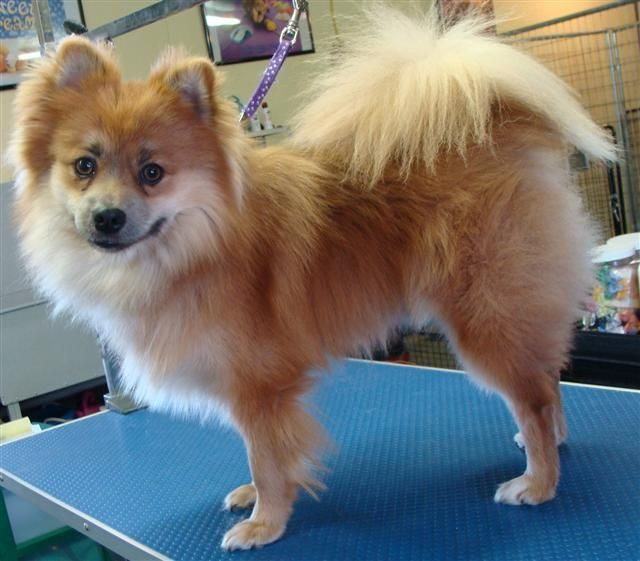 pomeranian with no hair shaved pomeranian before after fox cut trimming no 3814