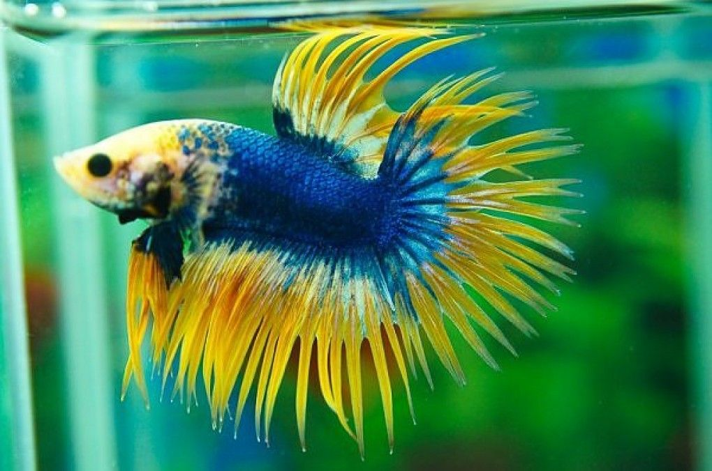 Crowntail betta 1020 676 aquatic for Betta fish names male blue