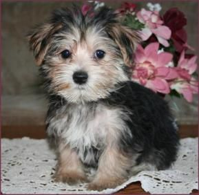 morkie multi color Cute Puppies Pinterest A month