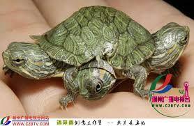 3 striped turtle - Google Search