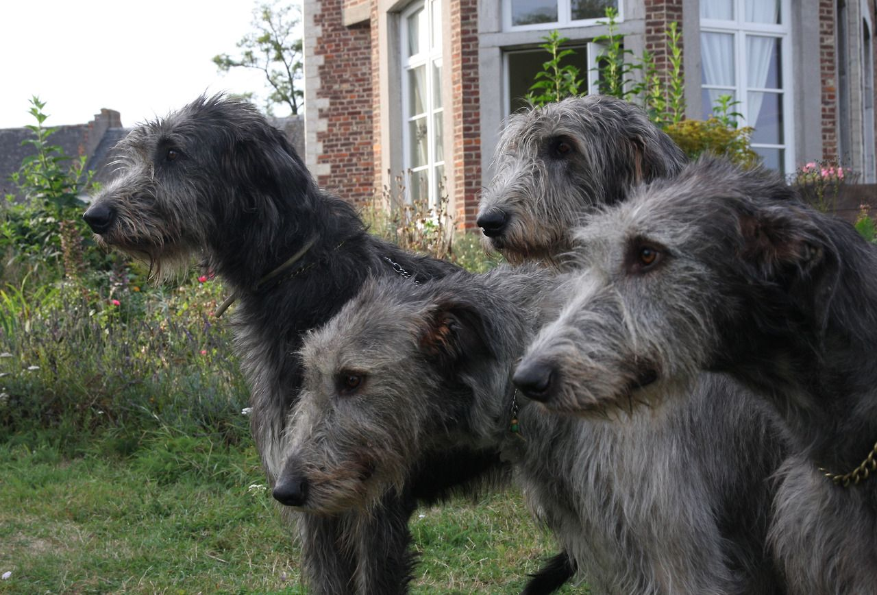 Living large raising an irish wolfhound puppy irish wolfhound living large raising an irish wolfhound puppy irish wolfhound puppies wolfhound puppies and wolfhound geenschuldenfo Image collections