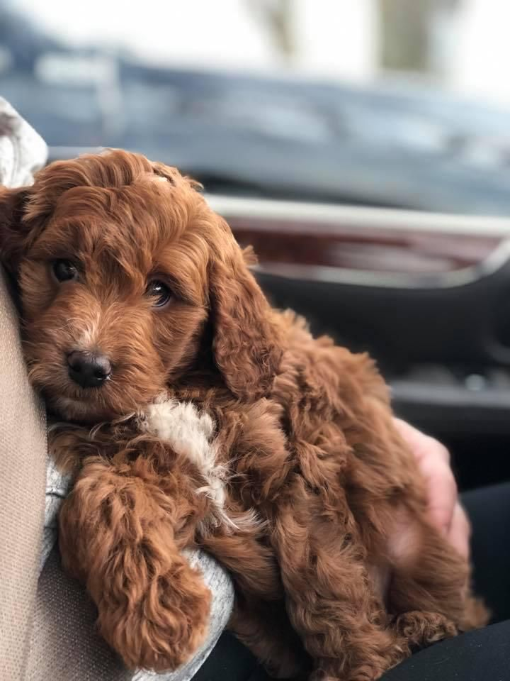 Archer hill farm in minnesota find your bernedoodle