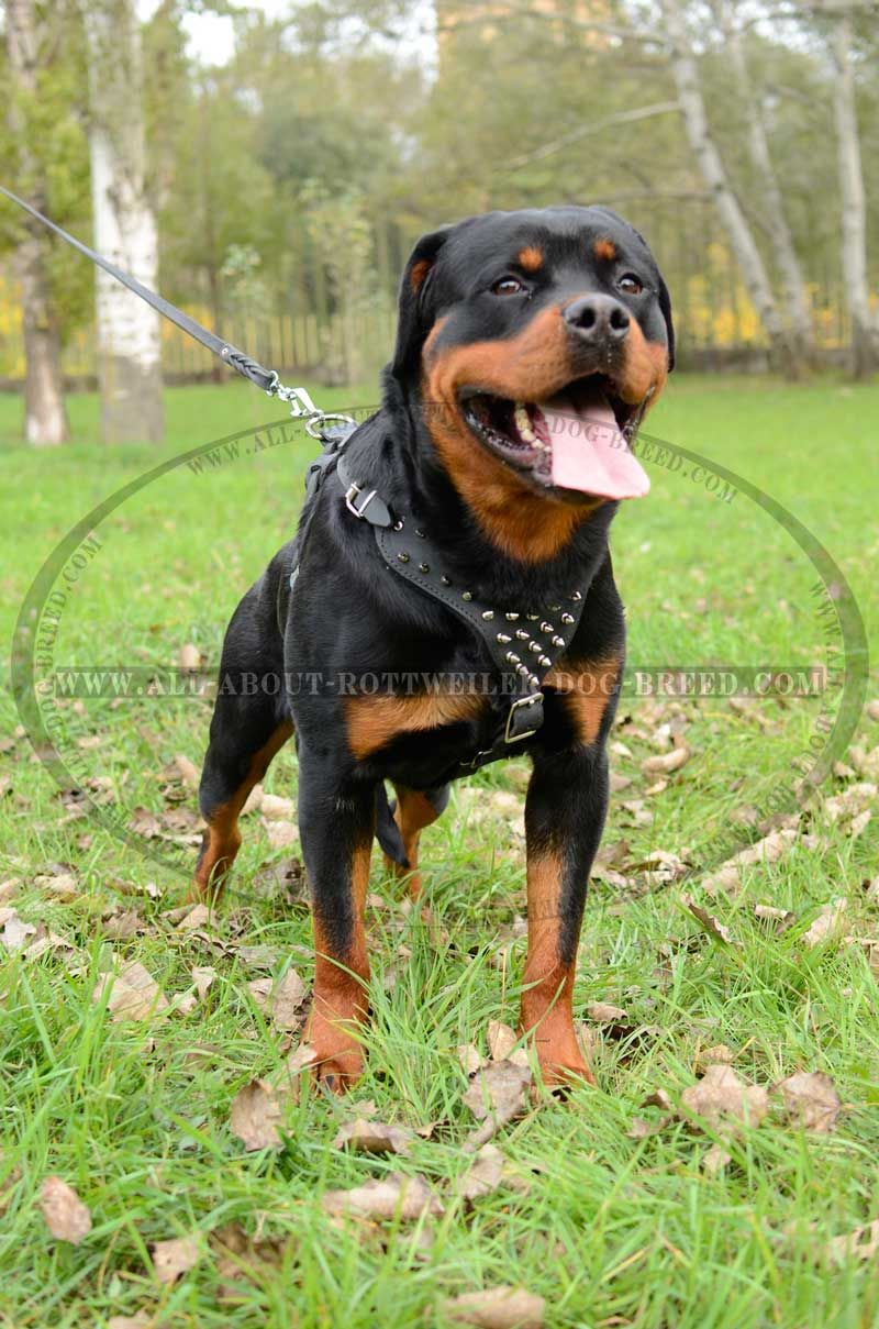 Reliable Rottweiler Dog Leather Harness Rottweiler Dog