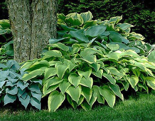 Outdoor Plants on Pinterest Low Maintenance Plants