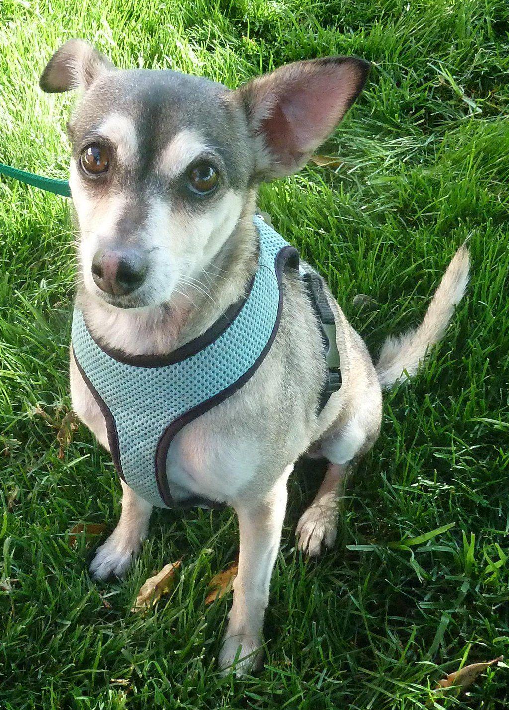 GayWeHo Dogs 4 U 🐶 on Dogs, Pets, Chihuahua mix