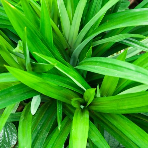Manfaat Daun Pandan Selain Buat Penyedap Rasa Best Herbs To Grow Plants Herbs
