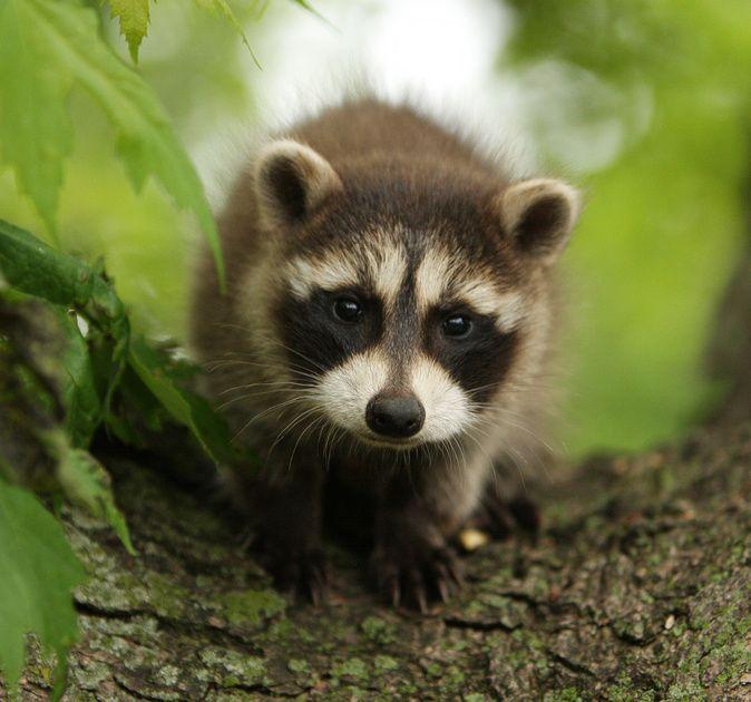 Last Night, I Witnessed A Mama Raccoon Carry Her Three Baby Raccoons Down My  Backyard