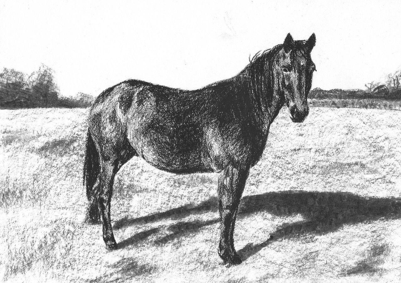 Dierenportret paard: Zwart contékrijt en tekenpotlood op wit papier (2013)