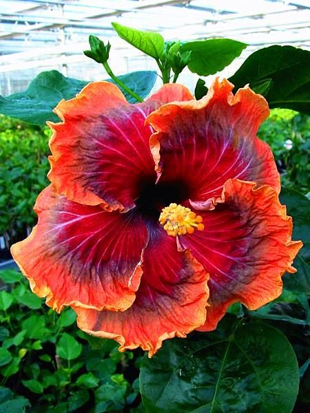 200pcs Bag Giant Hibiscus Seeds Hibiscus Bonsai Flower For Home Garden Planting Seeds12 Kinds Mixed Colors Seeds Planting Flowers Plants Amazing Flowers